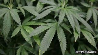 Leaves of a mature marijuana plant are seen in a display at The International Cannabis and Hemp Expo at the Cow Palace in Daly City, California 18 April 2010
