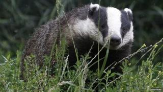Badger walking through grass