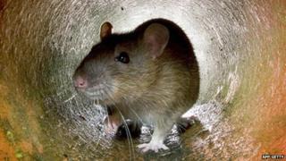 Rat in a drainpipe