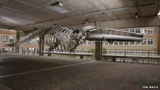 Whale skeleton, Museum of Zoology, Cambridge