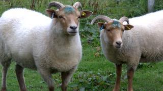 Portland Ewes