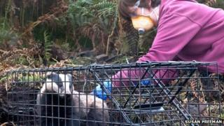 Badger gets vaccination