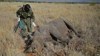 A Kenya Wildlife Services (KWS) vet approaches a wild male black rhino after it was tranquilised, on 28 August 2013
