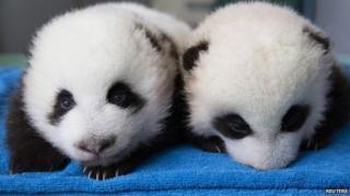 Panda twin cubs at Atlanta zoo
