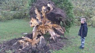 Uprooted tree in Bursledon