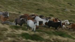 Wild Carneddau ponies