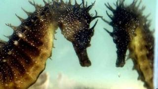 A seahorse reflected in a tank