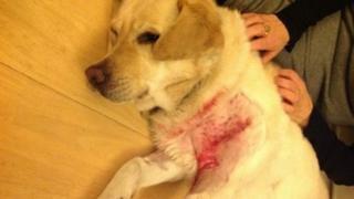 Guide dog after being attacked by two dogs