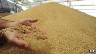 A farmer checking wheat grains