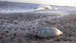 Injured seal in Norfolk