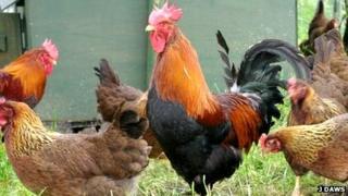 A cockerel looking haughty