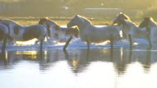 Horses stranded in flood waters