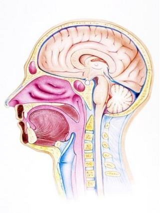 Cross section of a human head