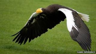 Nikita the Steller's Sea Eagle