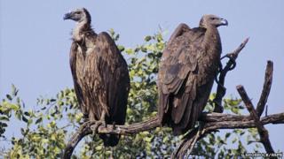 Oriental white-backed vultures (Image: Guy Shorrock/rspb-images.com)