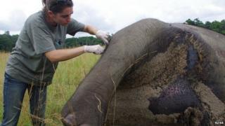 Sampling elephant DNA