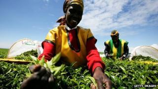 Kenyan tea picker