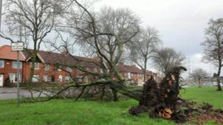 Tree blown over Cheshire