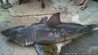 The great white shark killed in Sussex Inlet, Australia