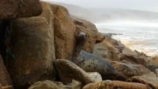 One of the seals peaks round from a rock