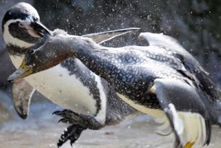 A penguin is attacking a duck