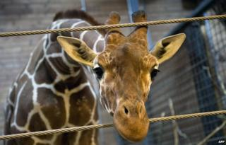 Marius the giraffe, who was shot dead and autopsied in the presence of visitors to the gardens at Copenhagen zoo on February