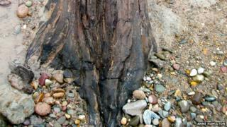 Ancient tree stump courtesy Anne Hamilton