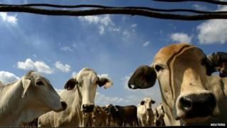 File photo of cows in Australia