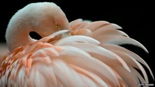 Flamingo at Frankfurt zoo