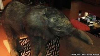 Baby elephant in living room