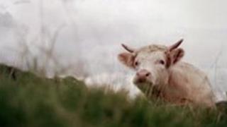 Town Moor cow