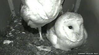 Owl webcam