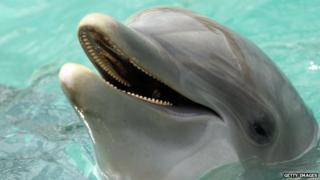 A bottle-nosed dolphin at the Miami Seaquarium in Key Biscayne, Florida.