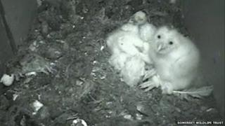 Owlets in nesting box