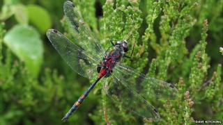 White-faced darter dragonfly