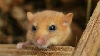 Dormouse peaking outside its box