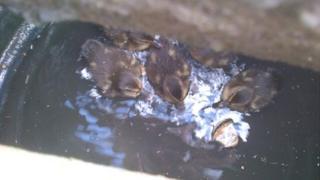 Ducklings in drain