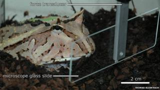 Horned frog in the experimental set-up