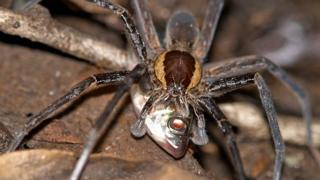 Ancylometes spider