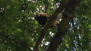 Escaped Harris hawk in tree, Peterborough