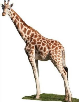 Giraffe (c) C Basu