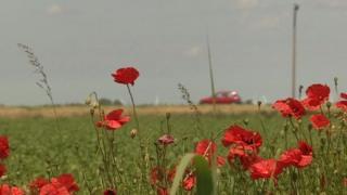 Poppies at Wimblington