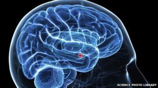 amygdala (red) in brain