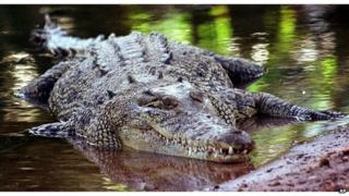 Saltwater crocodile in Queensland, Australia