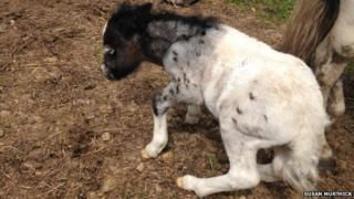 Miniature Shetland pony