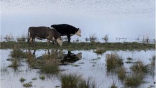 Cows near the River Parrett nr Langport