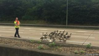 Geese on the M25