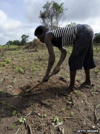 Farmer digs a whole in a cassava field (Getty Images)