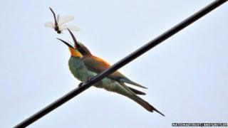 Bee-eater catching a dragon fly at Wydcombe, Isle of Wight