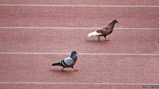 Pigeons on racetrack